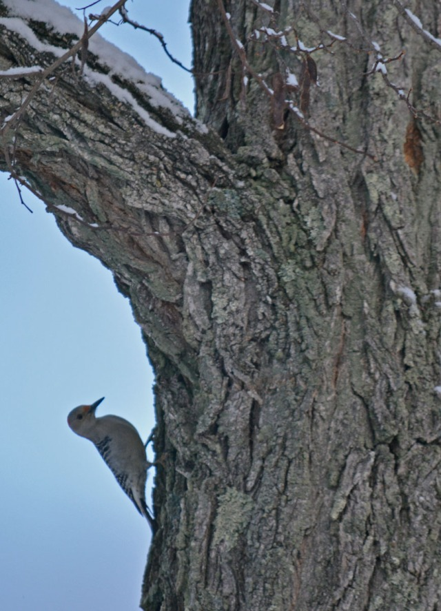 woodpecker backing down the tree