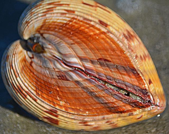 heart shaped shell