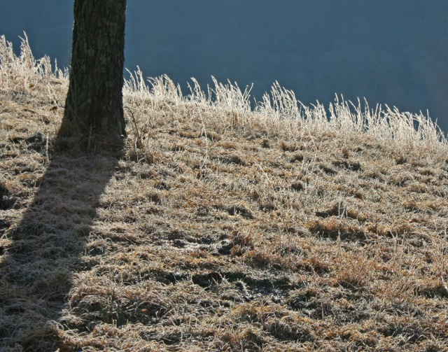 tree and morning frost