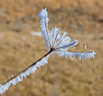 ice bloom
