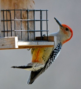 showing his red belly