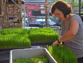 cutting wheatgrass