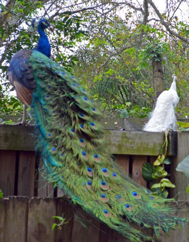 peacock couple
