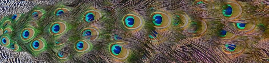 peacock header