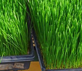 wheatgrass trays