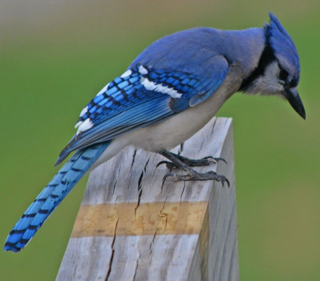 blue jay on end of beam