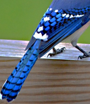 wing and tail feathers