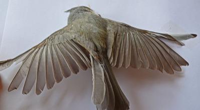 dead bird, face down