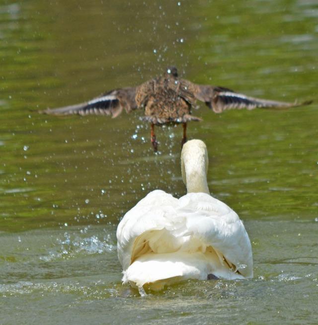 duck flies off