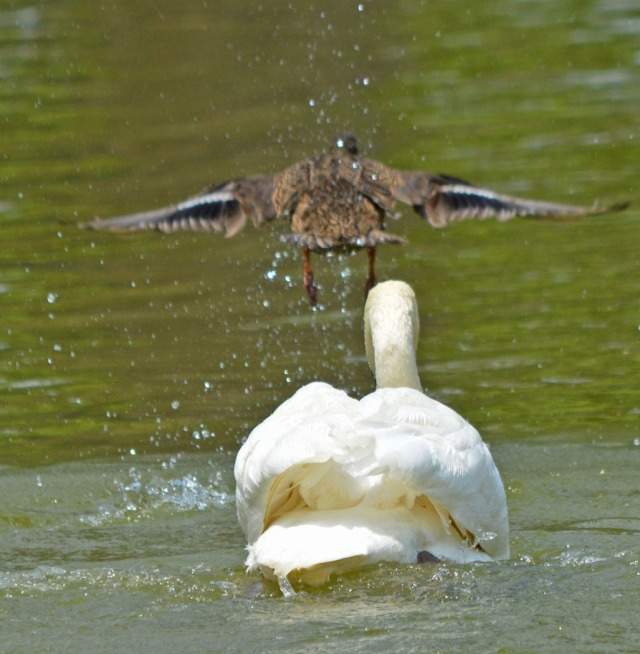 duck flies off