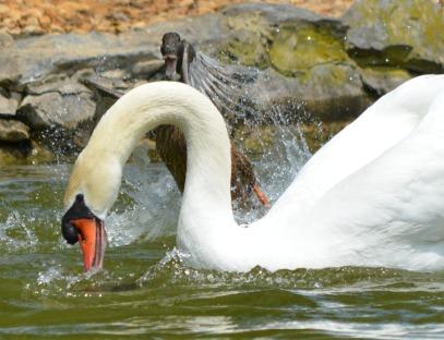duck screaming at swan