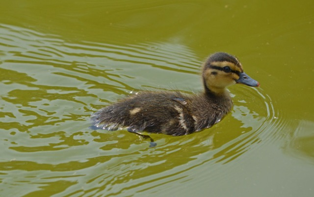 duckling heading home