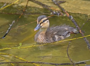 duckling hide-out