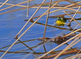 Frog in reeds