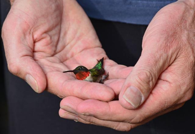 groggy hummingbird