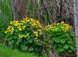 Marsh marigolds in fence