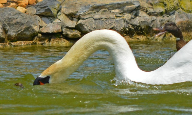 reaching for duckling again