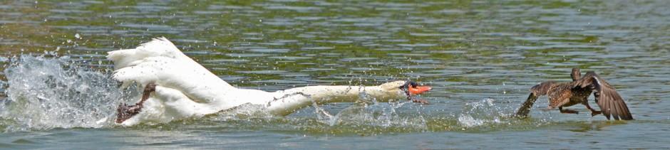 swan attack header