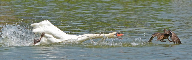 swan counter attacks