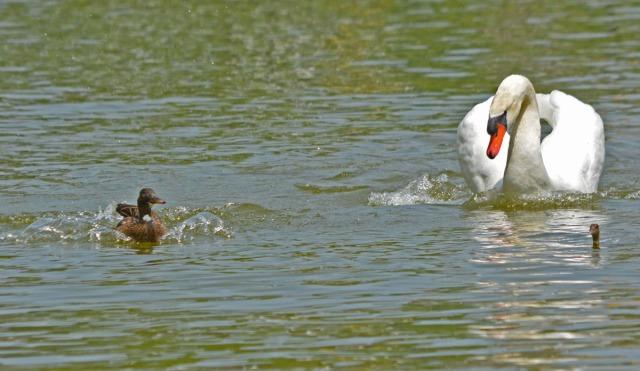 Swan pursues duckling