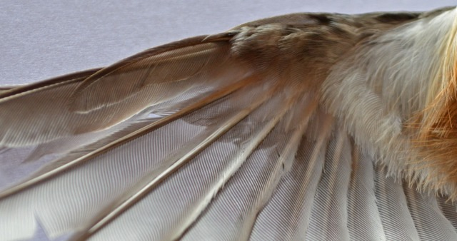 wingfeathers from below