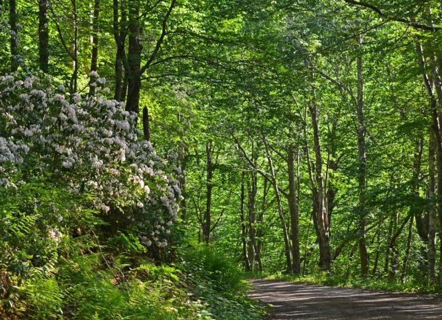 Mountain laurel along forest road