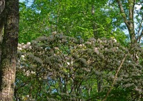 tree-sized mountain laurel