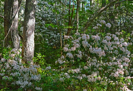 woods filled with mountain laurel