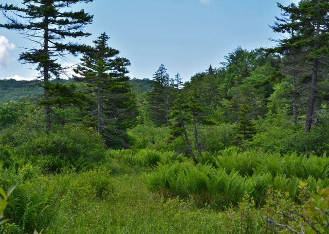 bog with tall trees