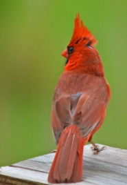 cardinal rear view