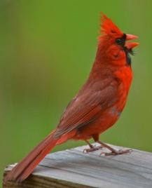 cardinal singing