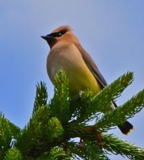 Cedar Waxwing on pine branch