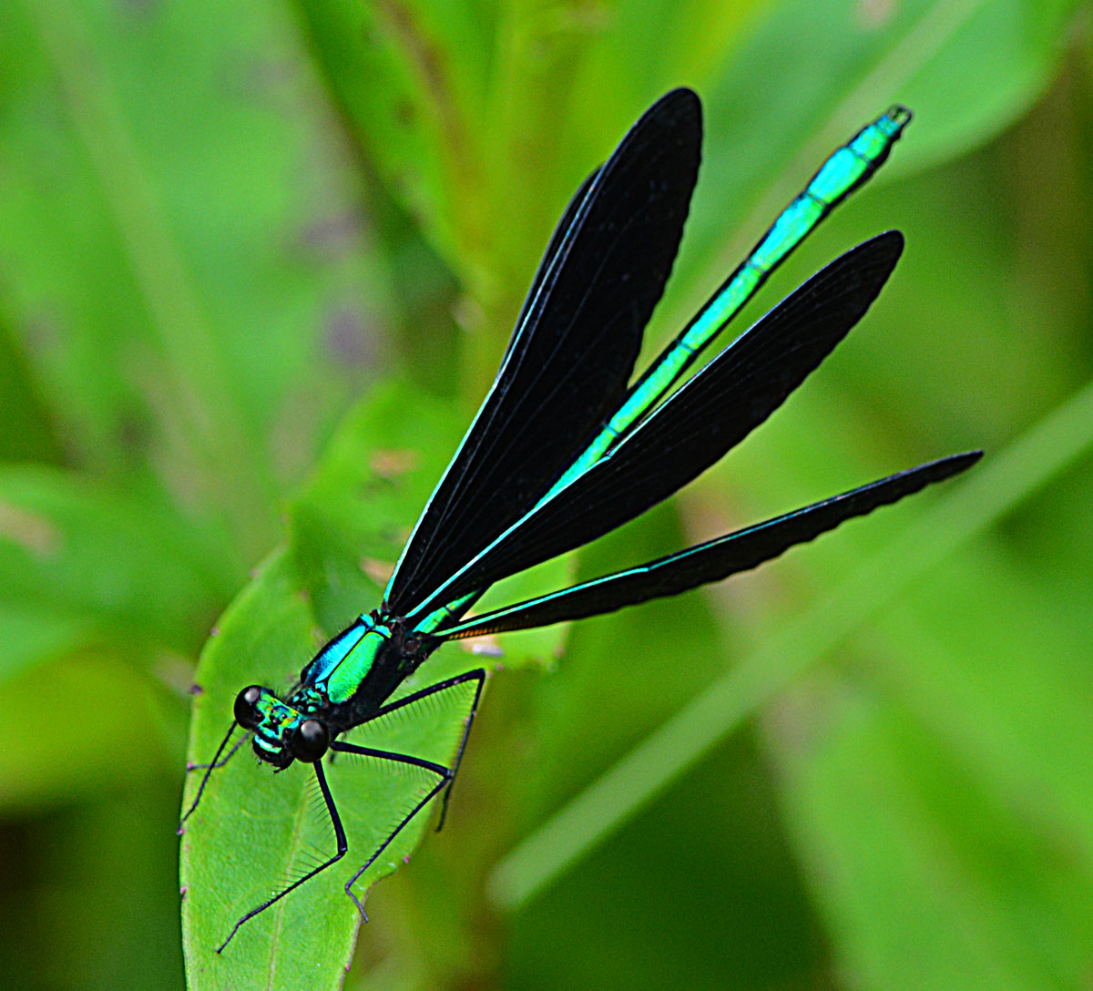 Black winged dragonfly - photo#10