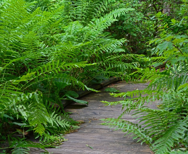 fern-lined board walk