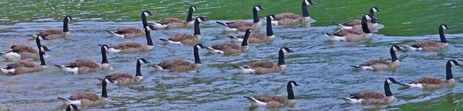 geese header