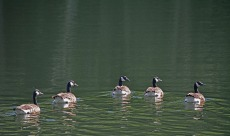 5 geese in water