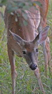 frontal view of deer