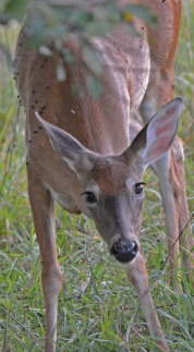 frontal view of deer