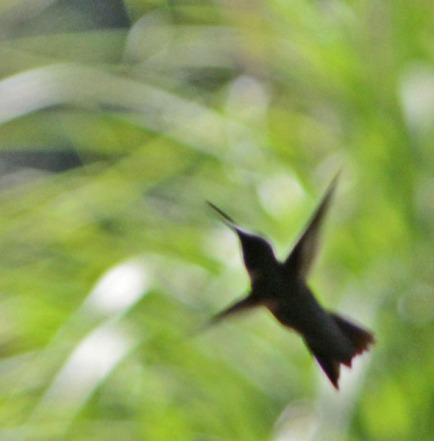 hummingbird rising