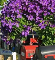 mailboxes under clematis vine