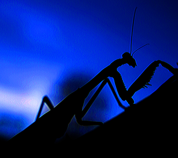 Mantis against blue sky