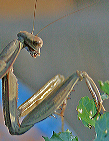 mantis rearing up