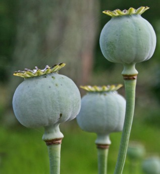 poppy seedheads in profile