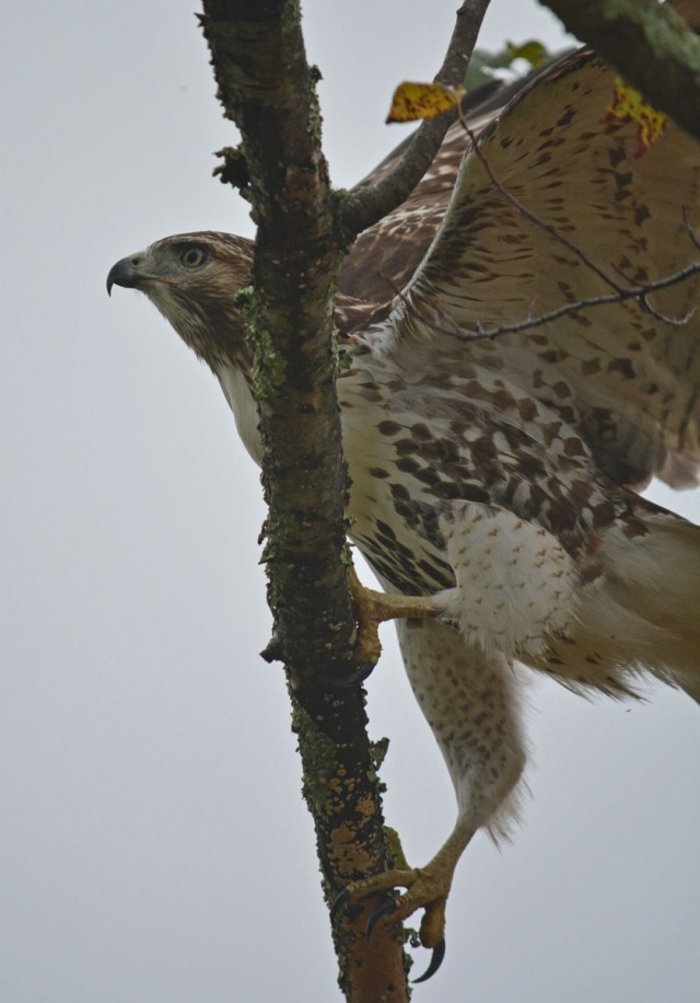 hawk jumping onto branch wings open
