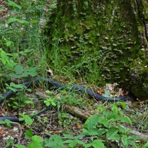 black snake living in tree