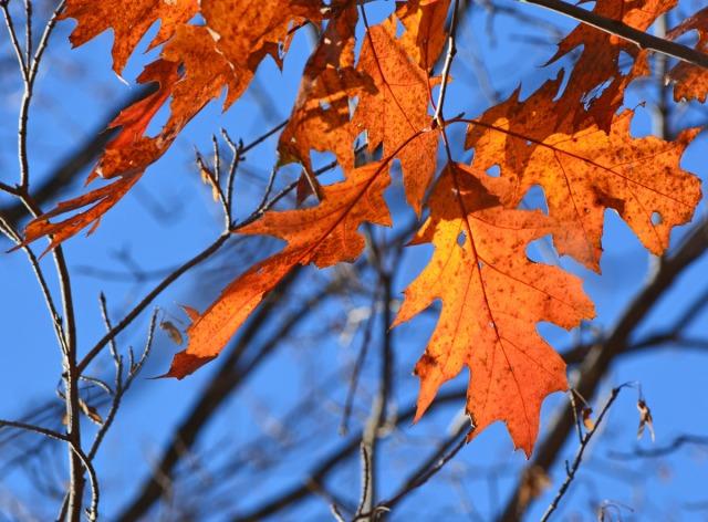 orange leaves against blue sky