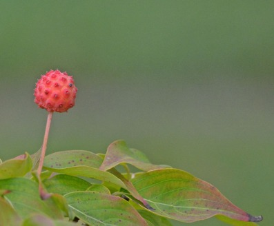 kousa dogwood fruit