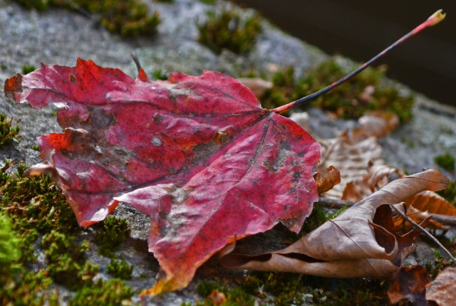 red leaf on mossy rock