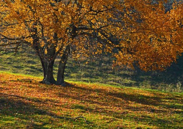 under the golden tree