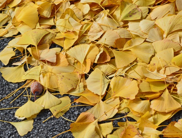 one fruit among fallen leaves